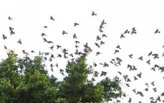 处处闻啼鸟!陵水:群鸟盘旋 翩然起舞